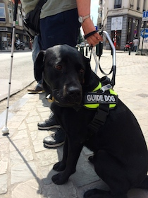 Photo de Largo, officiellement devenu le chien guide de Maguy depuis le 23 (...)